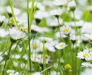 Akupunktur allergi Valby, Frederiksberg, København, hvide blomster